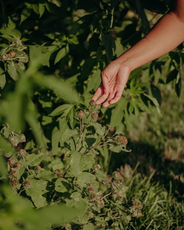 Hand identifying a burdock plant