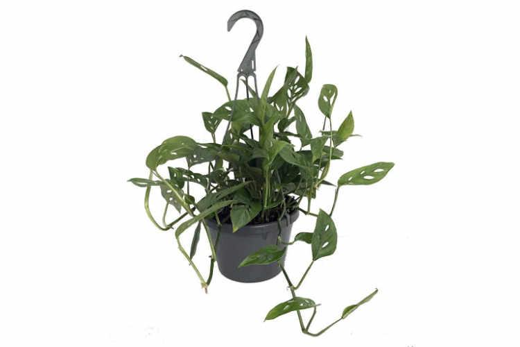 Green Velvet Alocasia (Alocasia micholitziana 'Frydek')