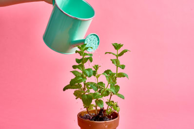 mint plant care tips dos don ts apartment therapy