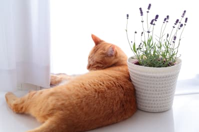 cat on windowsill next to lavender plant