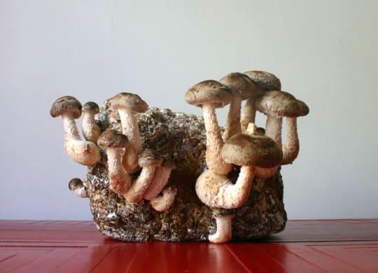 Shiitake Mushroom Mini-Farm