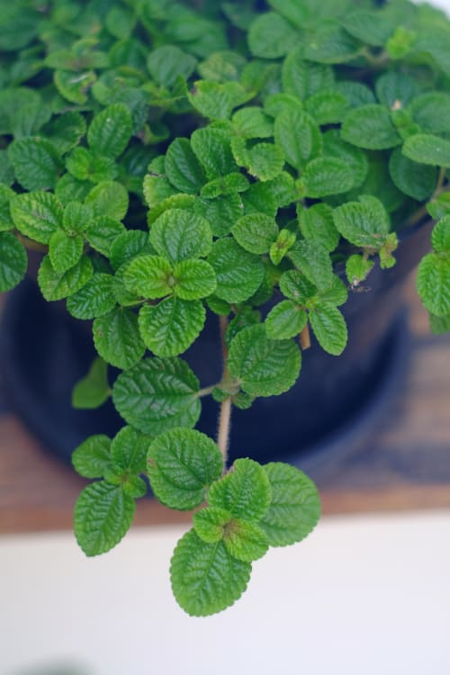 small indoor plants, best indoor plants, swedish ivy