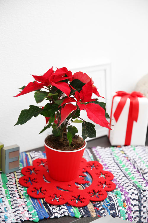 How To Care For Poinsettia Plants Apartment Therapy