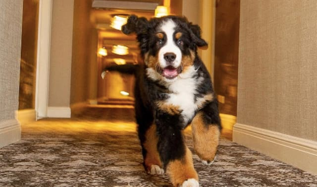 This Hotel In Aspen Has a Resident Bernese Mountain Dog That Will Cuddles With You