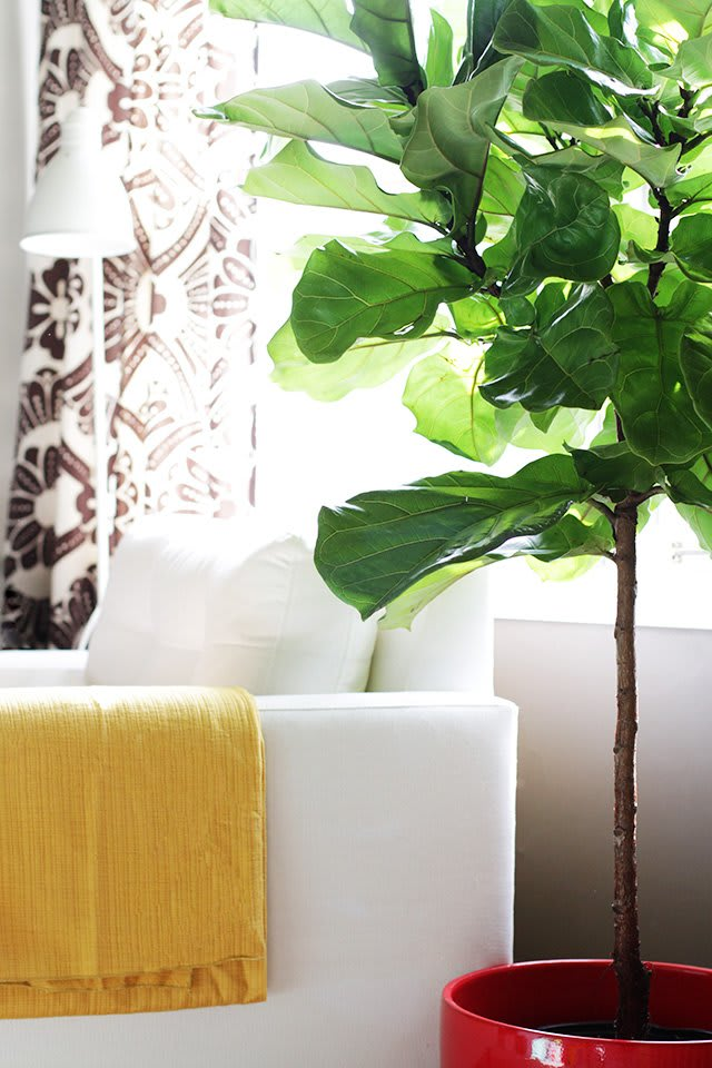 Fiddle Leaf Fig Trees Ficus Lyrata Growing Care