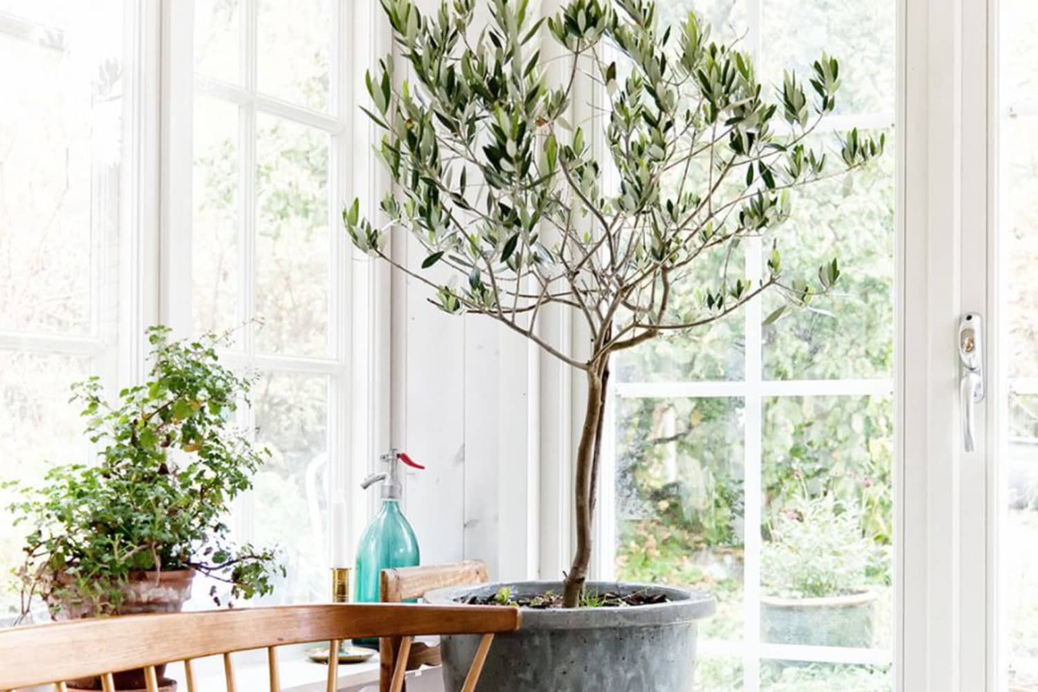 Olive Tree Care How To Grow Maintain Olive Trees Indoors Apartment Therapy