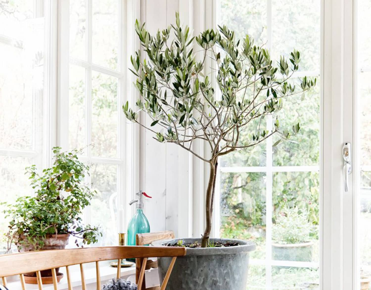 "Olive Trees Are ""Next Big Thing"" Tree Taking Over the Design World (& How To Take Care of It)"