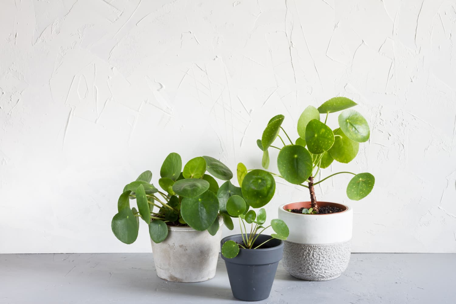 Pilea Peperomioides Care - Chinese Money Plants | Apartment