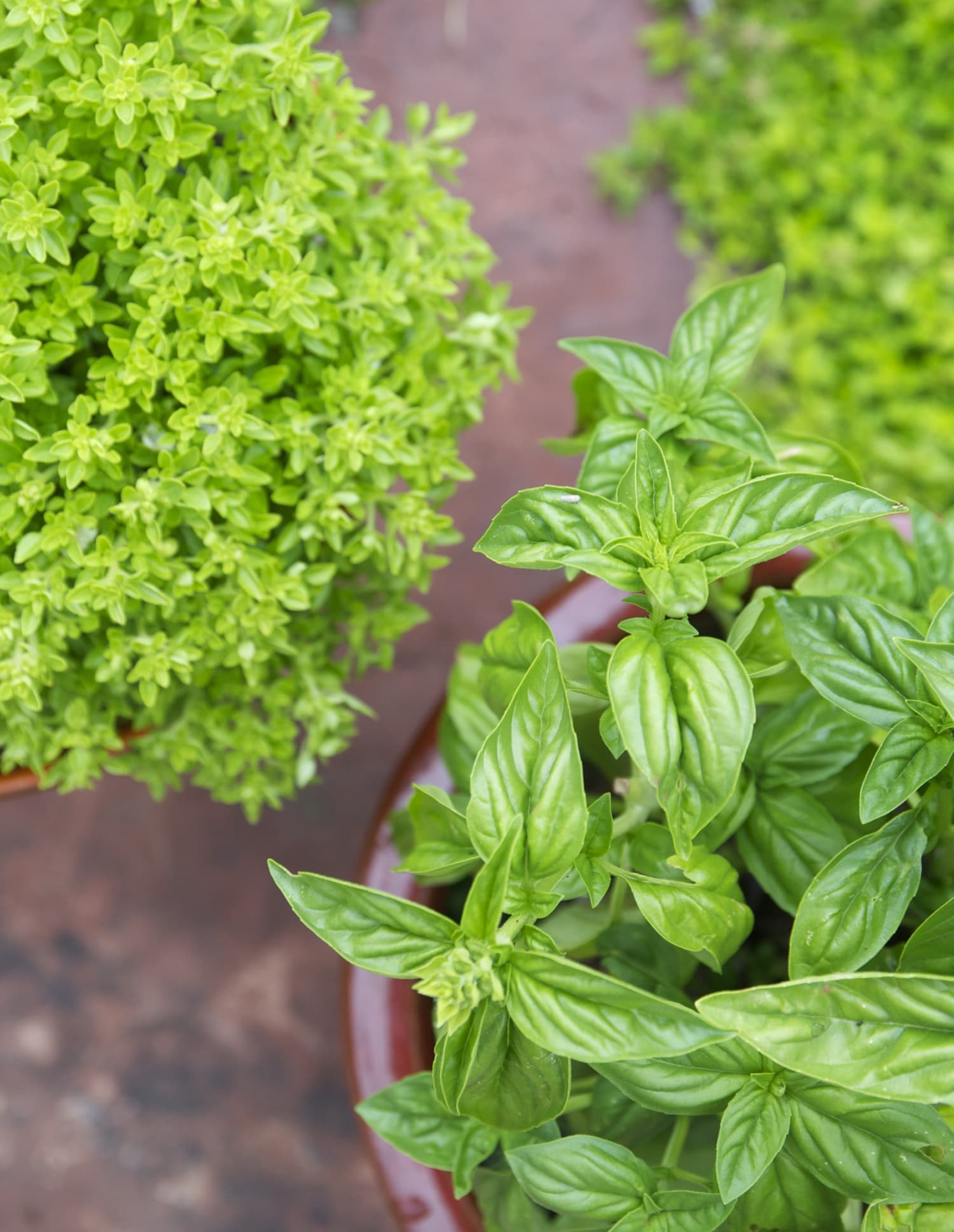 Growing Basil Tips Container Herb Garden | Kitchn