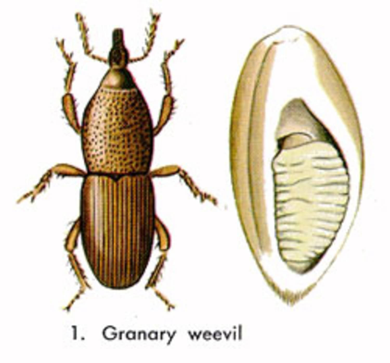 How To Prevent & Get Rid of Grain Weevils