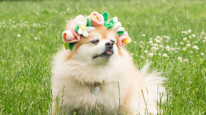 BarkBox Sells Flower Crowns for Your Dog – Just in Time For Spring