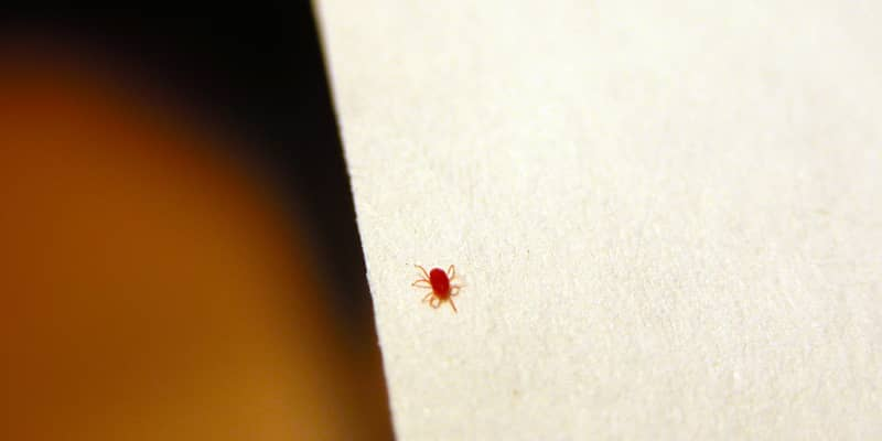 What Are Those Tiny Red Bugs All About Clover Mites Apartment Therapy