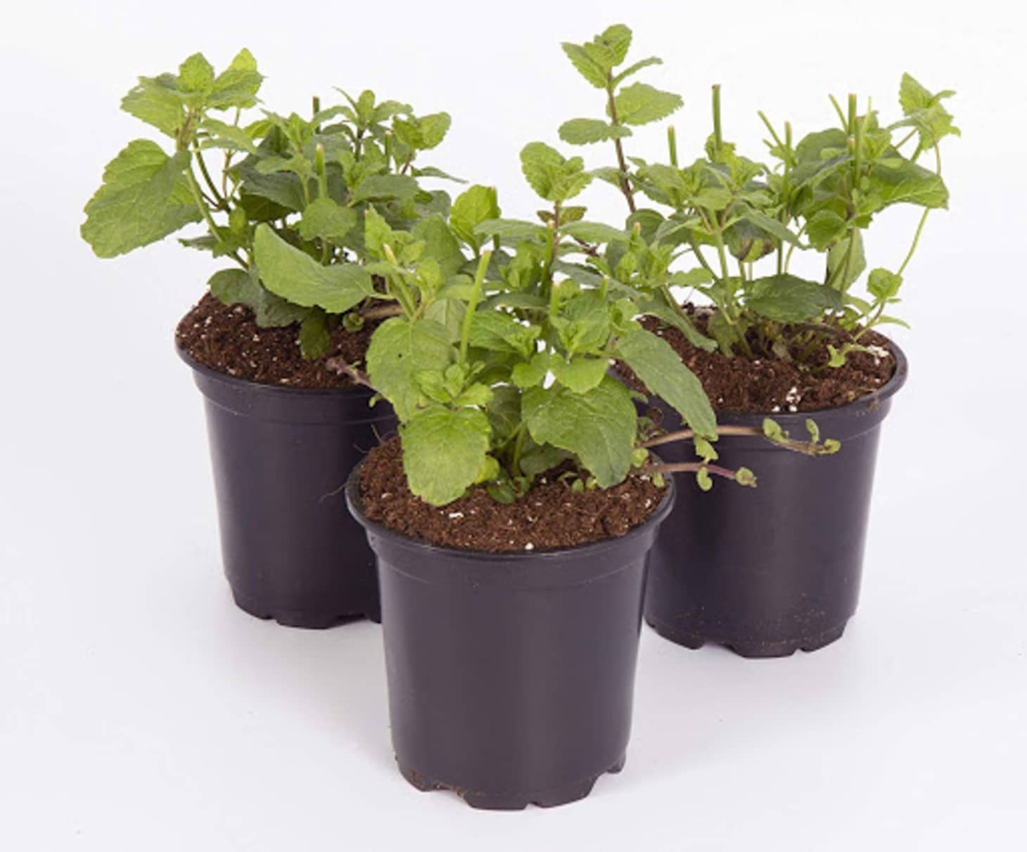 Mint Plant Care Tips - Dos Don'ts | Apartment Therapy