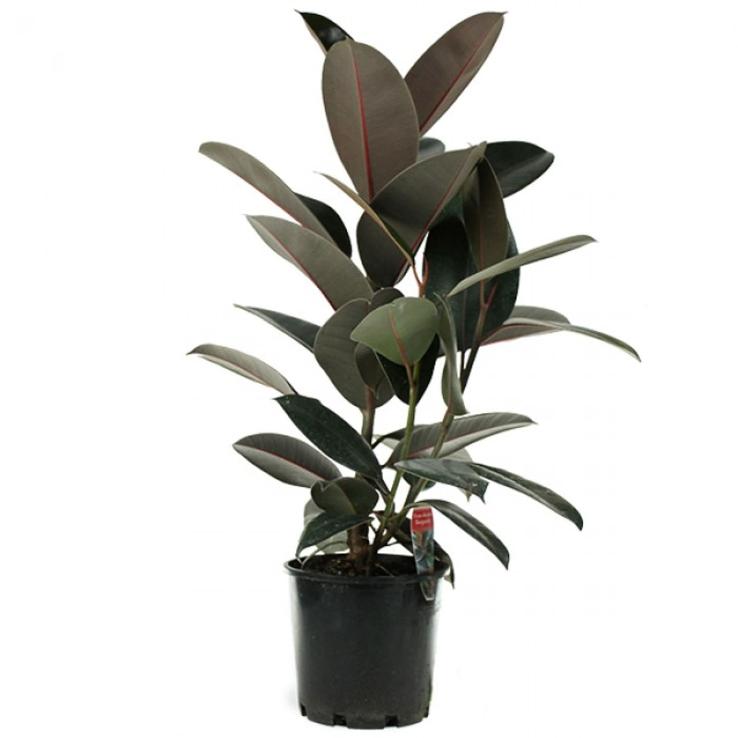 Rubber Plant: Our Best Tips For Growing and Care | Apartment