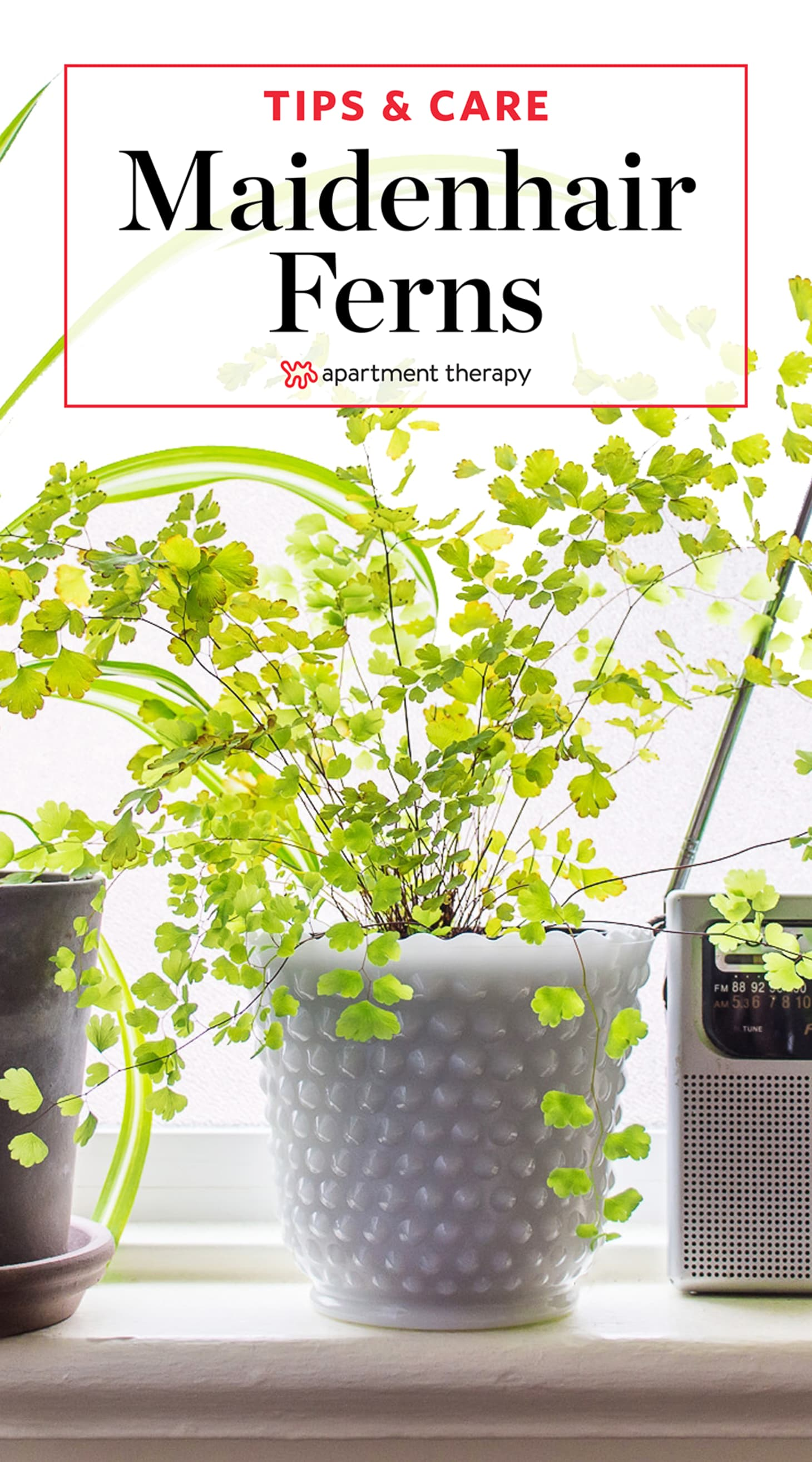 Maidenhair Fern Care | Apartment Therapy