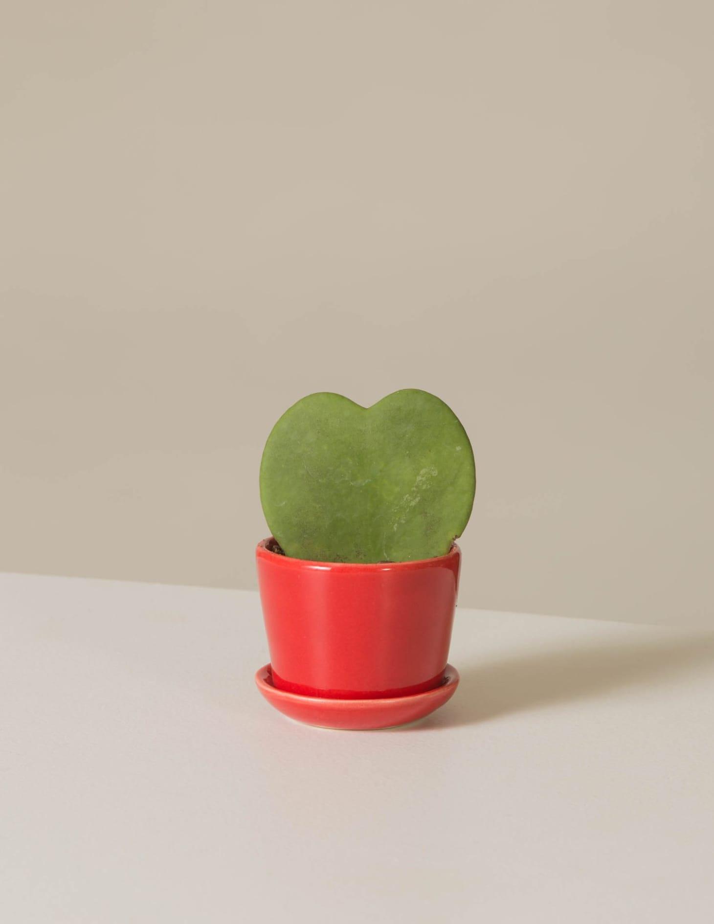 Sweetheart Wax Plant Care Hoya Kerrii Heart Apartment Therapy
