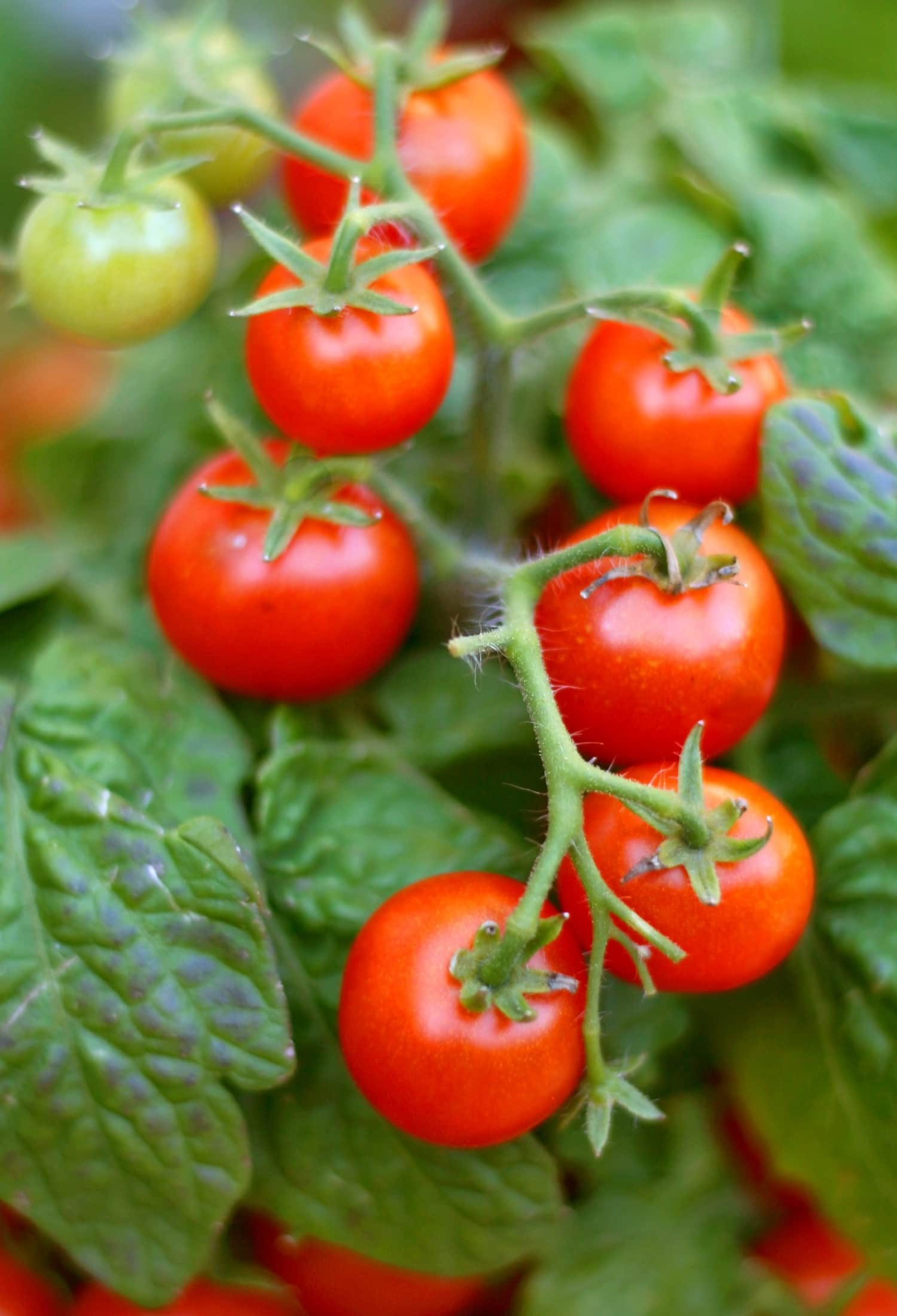 Are Tomato Leaves Actually Poisonous