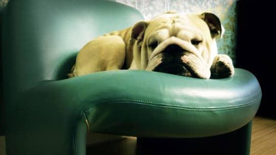 Pets On Modern Furniture: gallery slide thumbnail 3