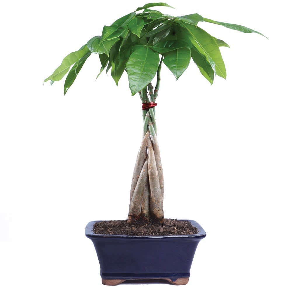 Money Tree Plant Care - Growing Plants Indoors   Apartment Therapy on house made out of plants, common house trees, house plants that require no sunlight, indoor trees, houses in trees, plants that look like little trees, decorative inside trees, faux plants and trees, house plants with small leaves, house plants and their names, online nursery plants and trees, dragon trees, house plants with large leaves, small umbrella trees, house plants for sunny windows, house plants with variegated leaves, house landscape trees, potted trees, ficus trees, types of umbrella trees,