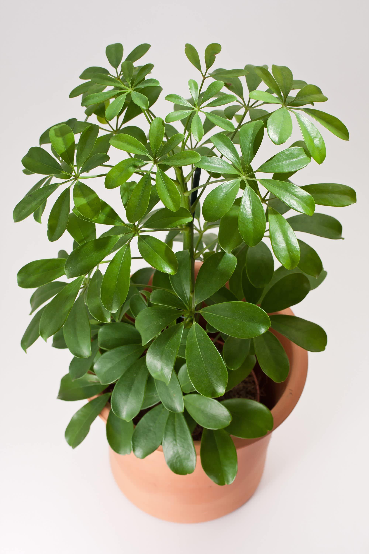 Under Appreciated Umbrella Plants Deserve A Second Look
