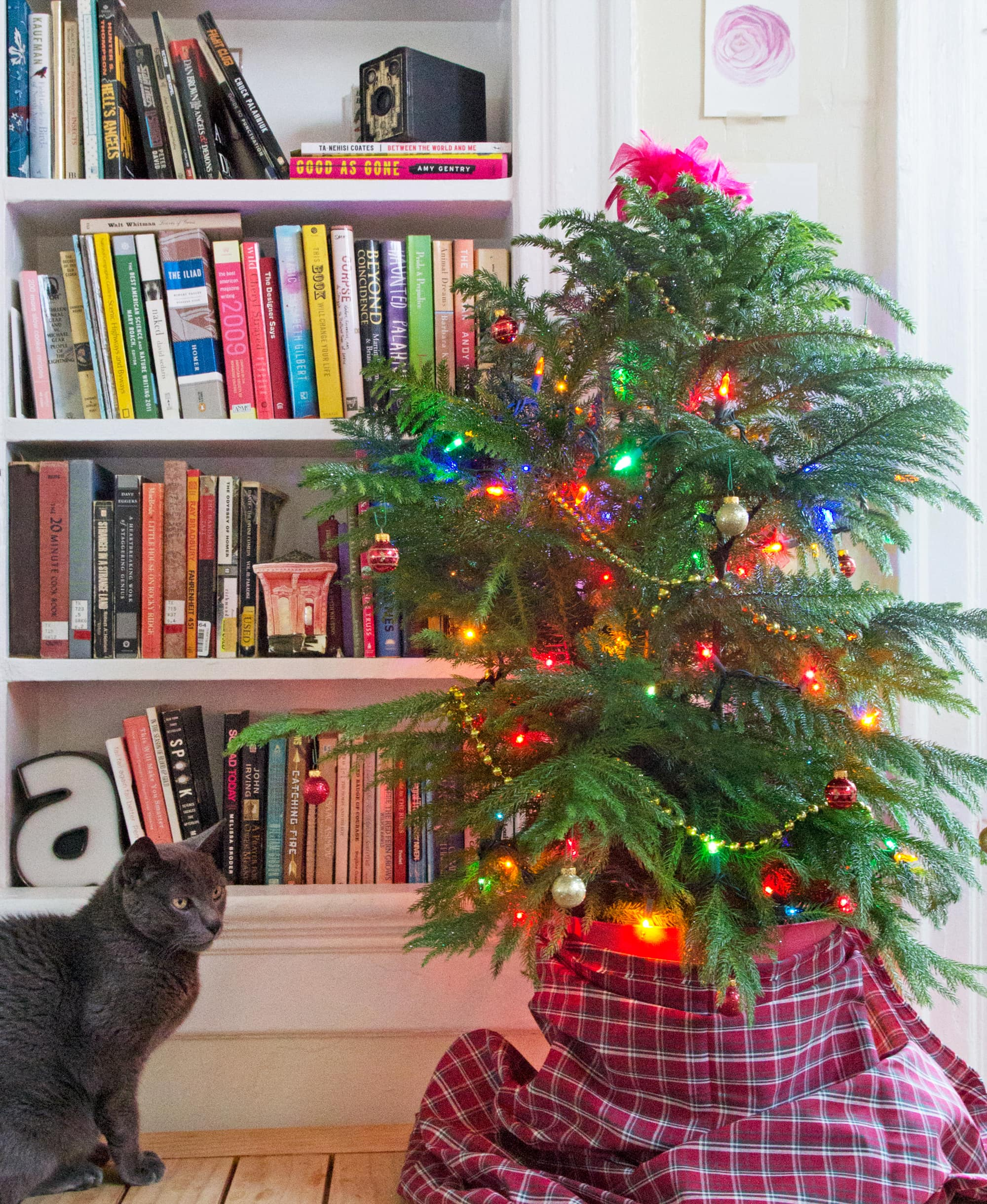 Norfolk Island Pine Small Space Christmas Tree Apartment Therapy
