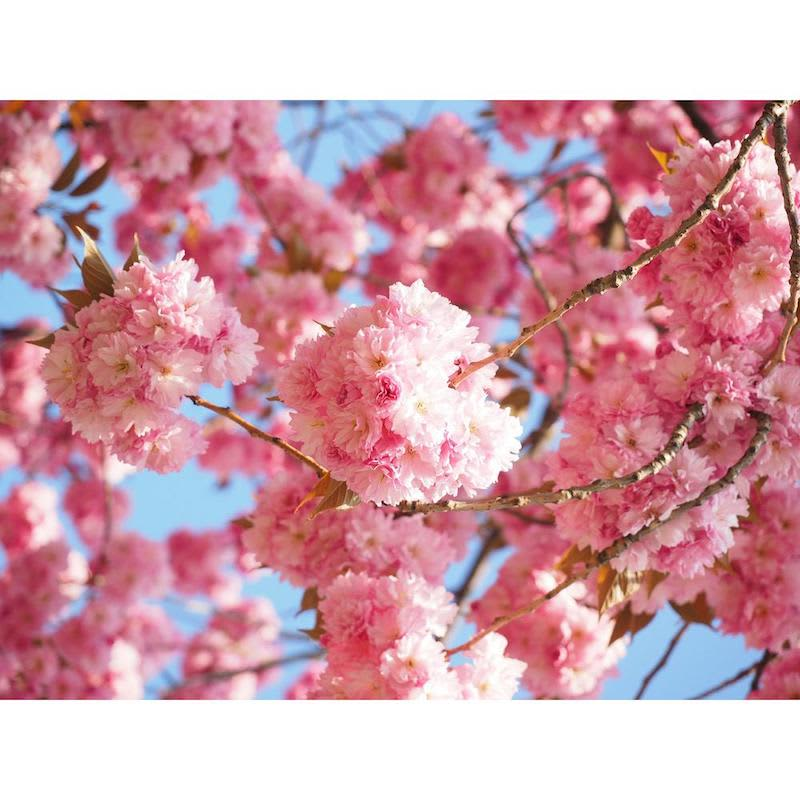 Home Depot Sells Cherry Blossom Trees For $39