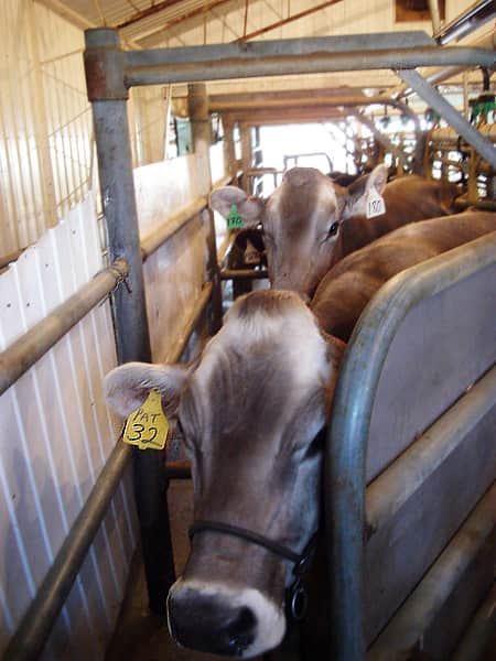 Where Does Milk Come From? A Tour of Shatto Dairy in Kansas City: gallery image 14