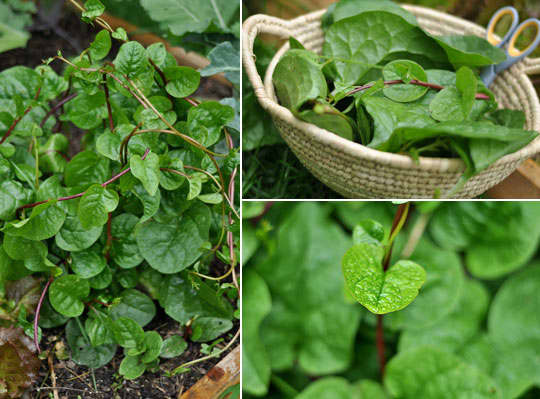 Image result for How much do you know about the malabar spinach at home?