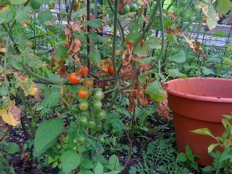 My Great Outdoors: Amelia's Community Garden Plot: gallery image 2