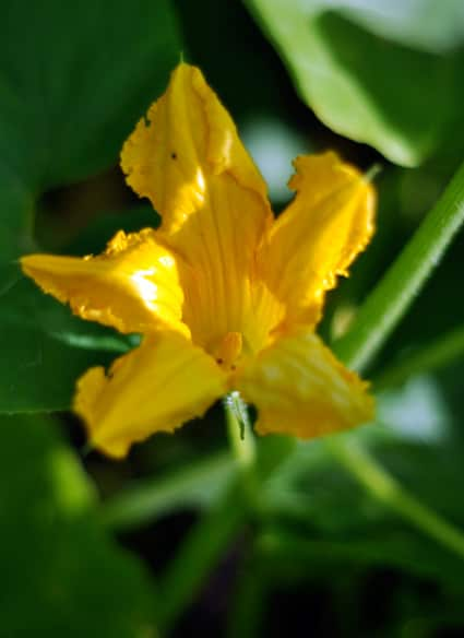 The Summer Sex Life Of Squash How To Tell Between Male And Female Squash Blossoms -6286
