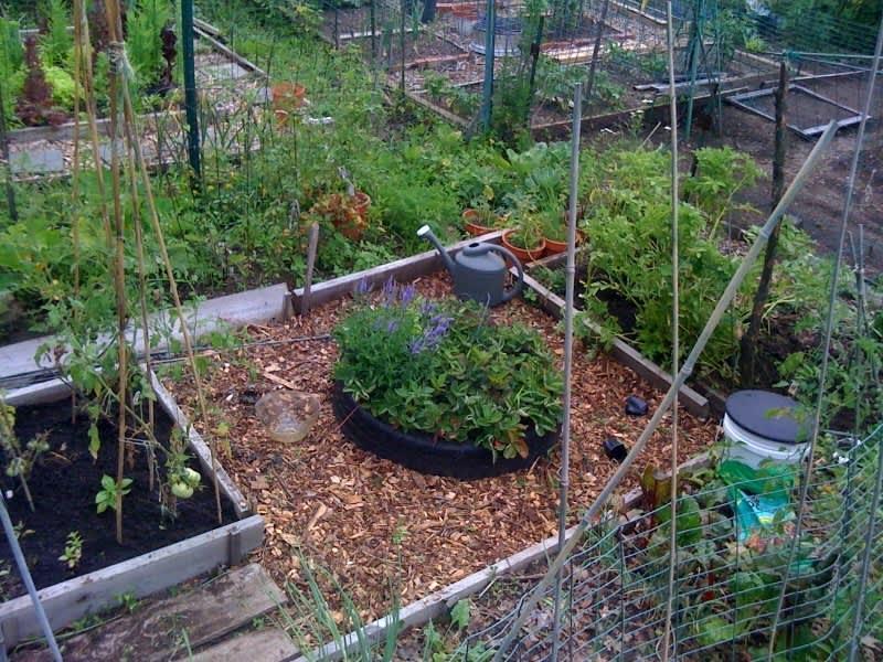 My Great Outdoors: Amelia's Community Garden Plot: gallery image 1