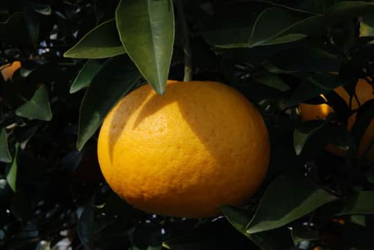 A Roundup Of Some Japanese Citrus Fruit: gallery image 3
