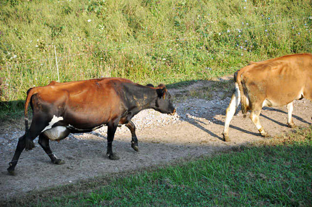 The Way Milk Should Be: A Visit to Snowville Creamery Farm Tour: gallery image 10