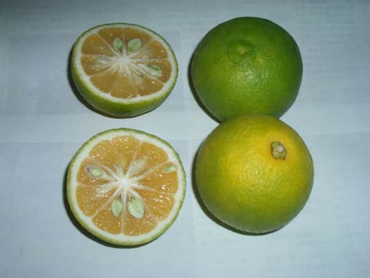 A Roundup Of Some Japanese Citrus Fruit: gallery image 5