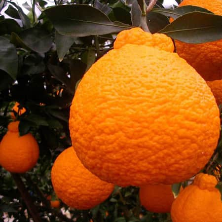 A Roundup Of Some Japanese Citrus Fruit: gallery image 4
