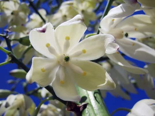 Seasonal Spotlight: Yucca Flowers: gallery image 5