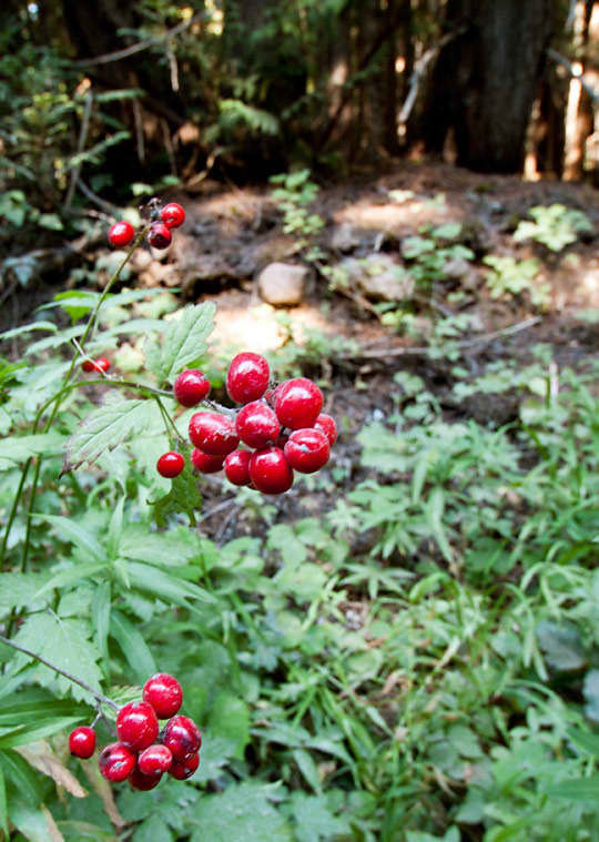 Wild Foods in Oregon: 5 Tips for Edible Foraging: gallery image 9