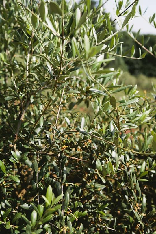 A Visit to Oregon Olive Mill: Heritage Olive Oil From Dayton, Oregon: gallery image 10