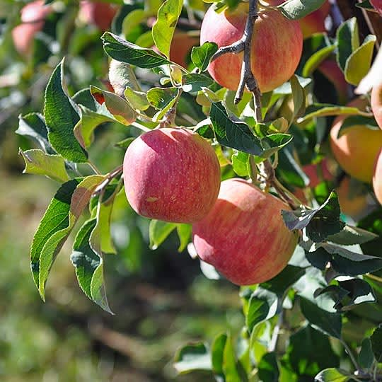 From Orchard to Market: Come Along on an Apple Harvest!: gallery image 1