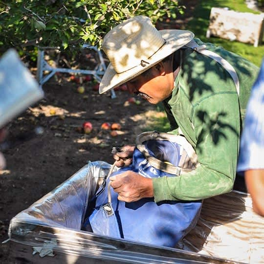 From Orchard to Market: Come Along on an Apple Harvest!: gallery image 6