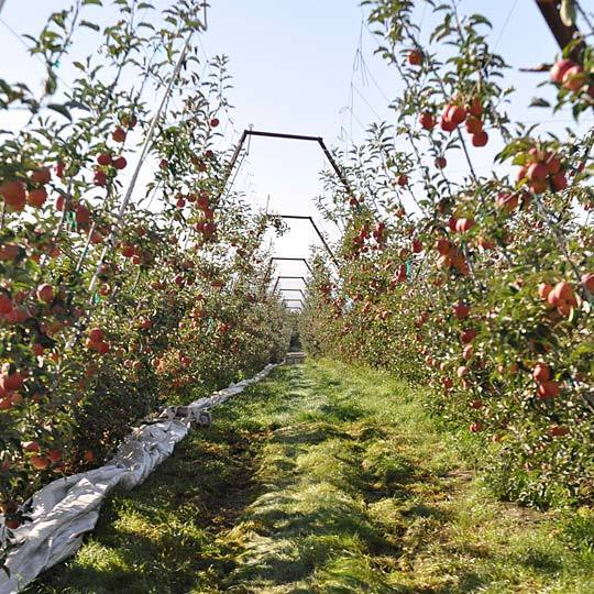 From Orchard to Market: Come Along on an Apple Harvest!: gallery image 2