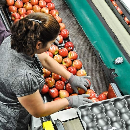 From Orchard to Market: Come Along on an Apple Harvest!: gallery image 18