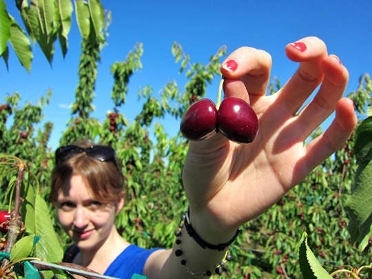 Double Cherries Are Just Under a Lot of Stress