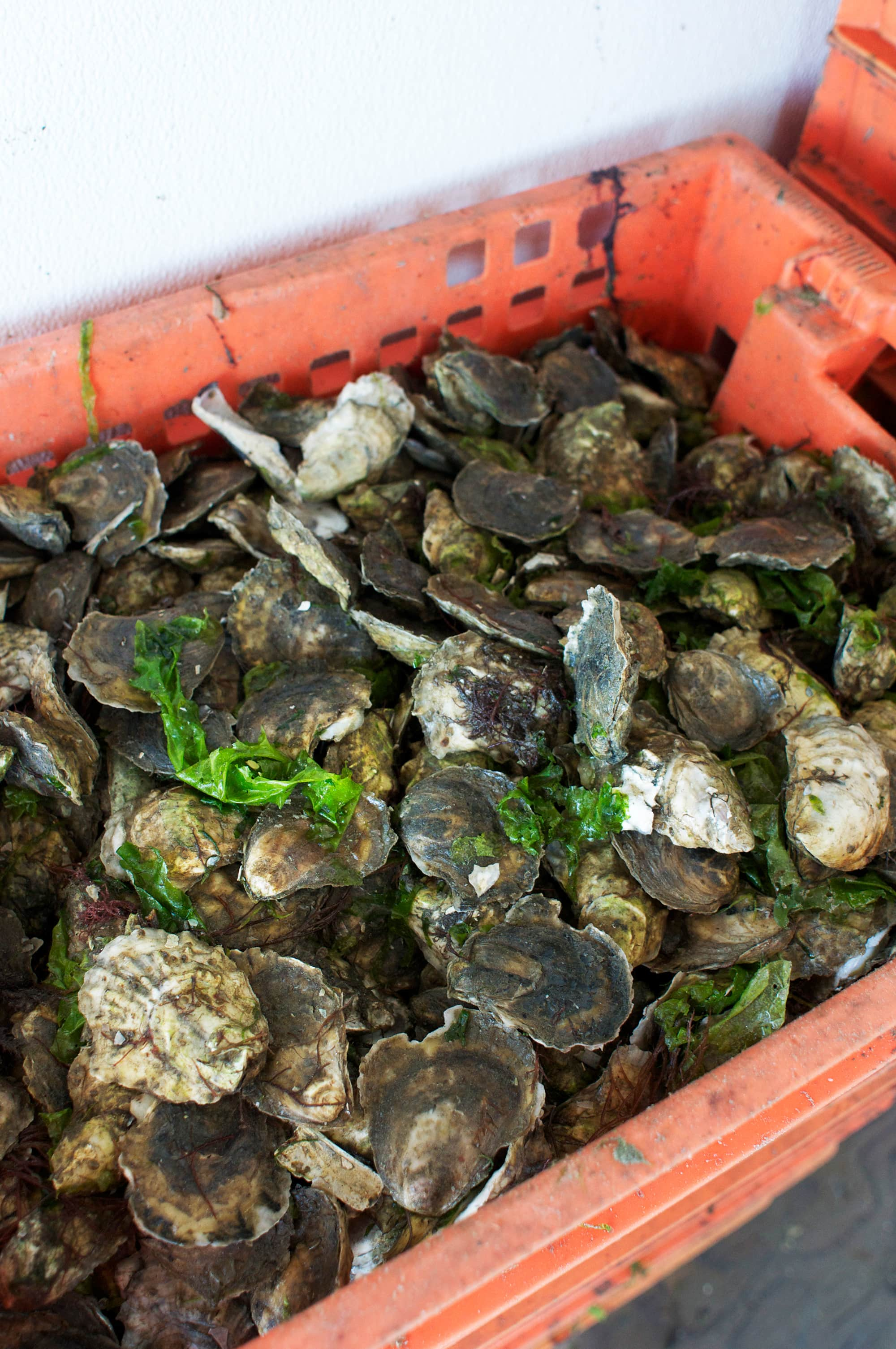 How Oysters Are Grown: A Visit to Island Creek Oysters in Duxbury, Massachusetts: gallery image 21