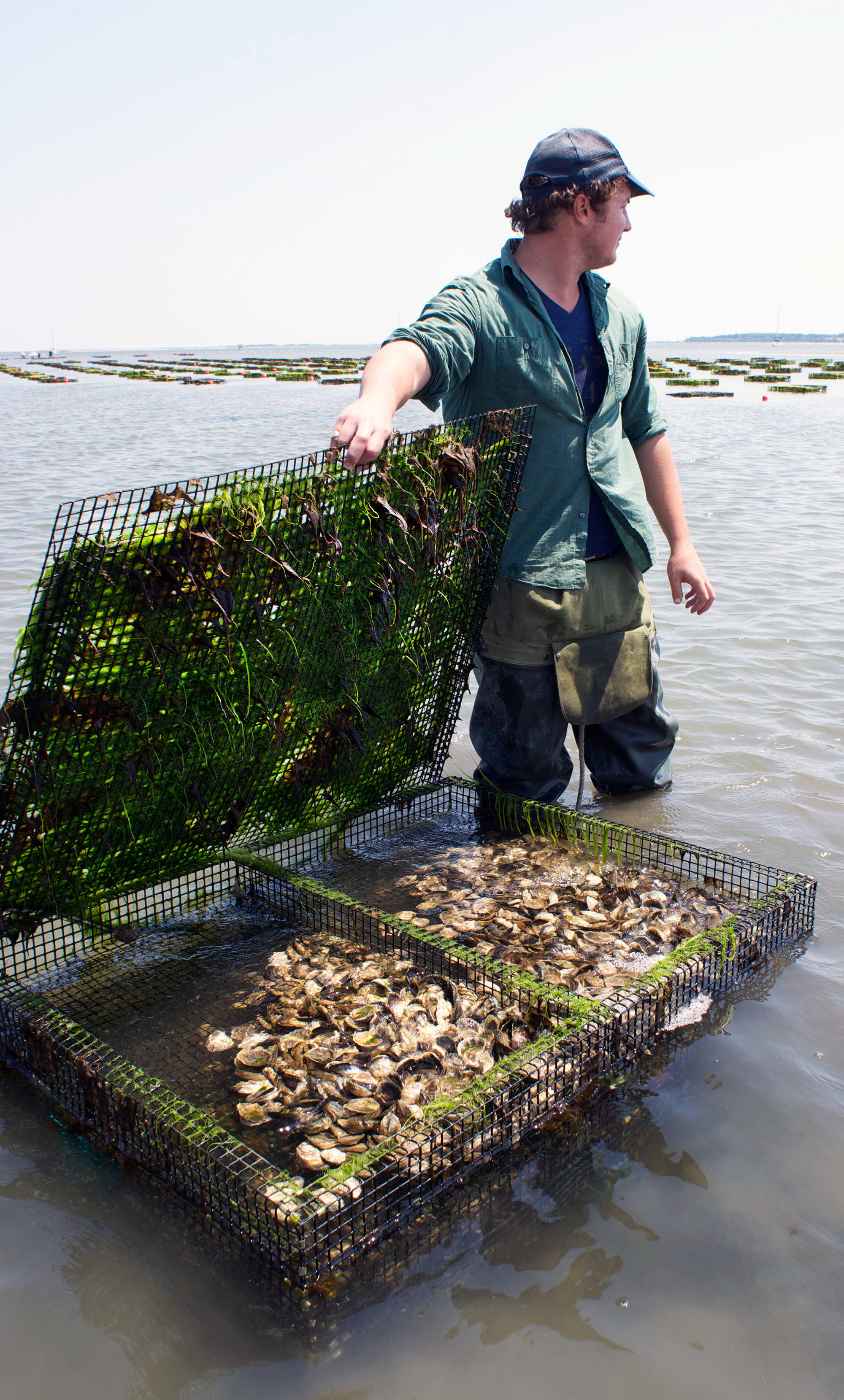 How Oysters Are Grown: A Visit to Island Creek Oysters in Duxbury, Massachusetts: gallery image 16