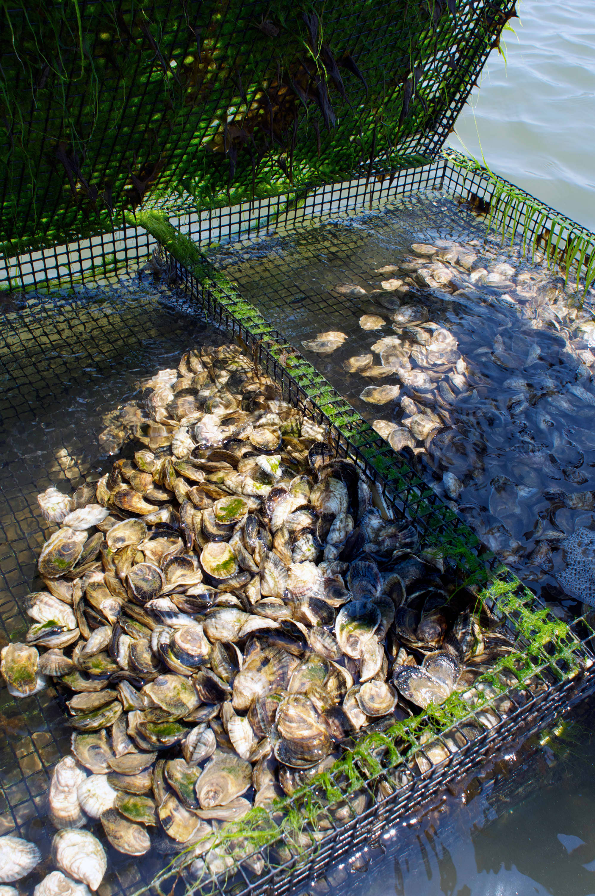 How Oysters Are Grown: A Visit to Island Creek Oysters in Duxbury, Massachusetts: gallery image 17