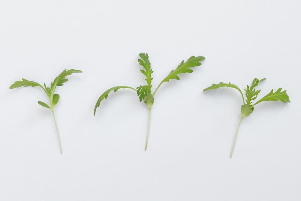 Pretty Salad Ingredient: Shungiku Microgreens