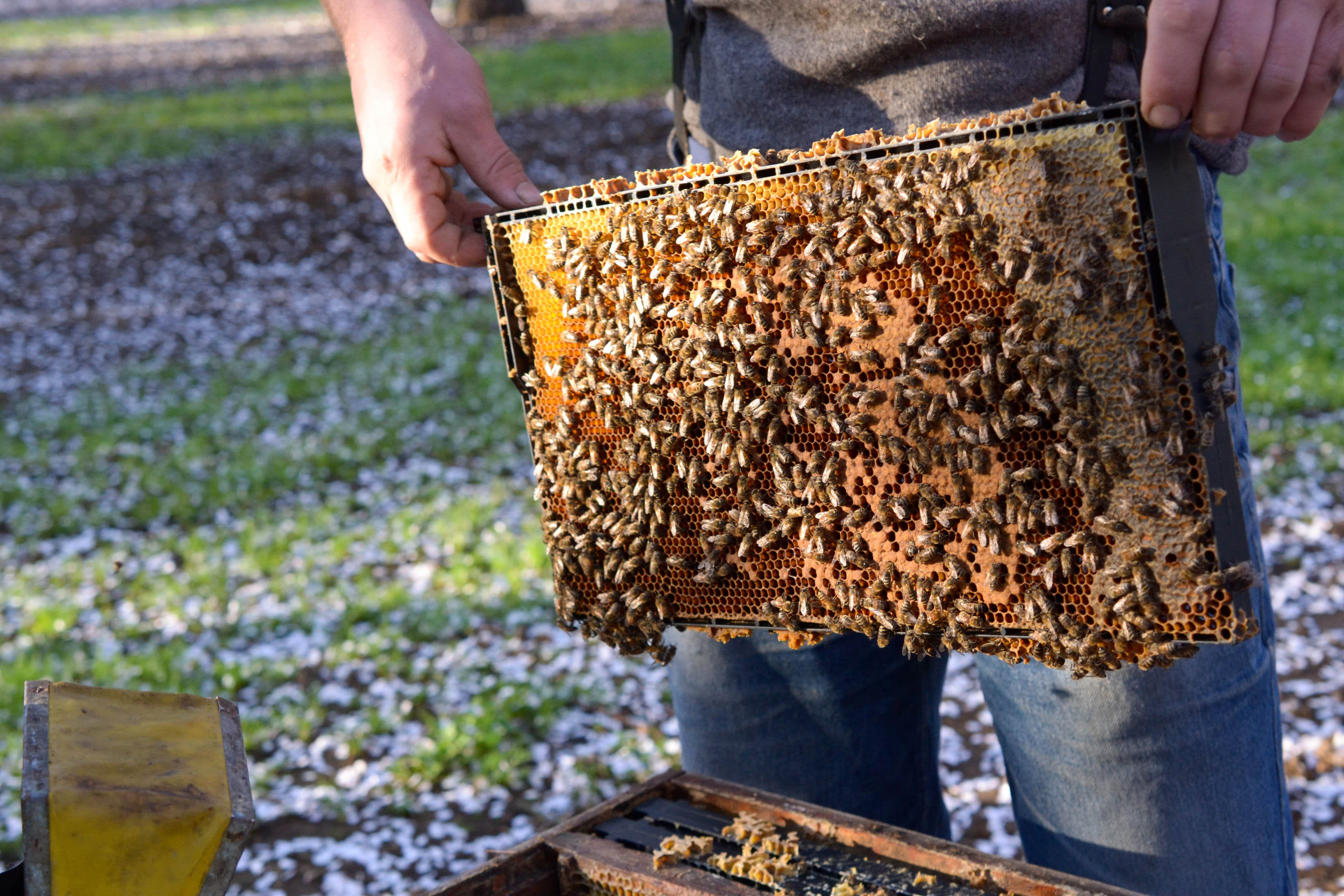 Spring Break with Millions of Bees: Why Beekeepers Take a California Road Trip Every Spring: gallery image 4