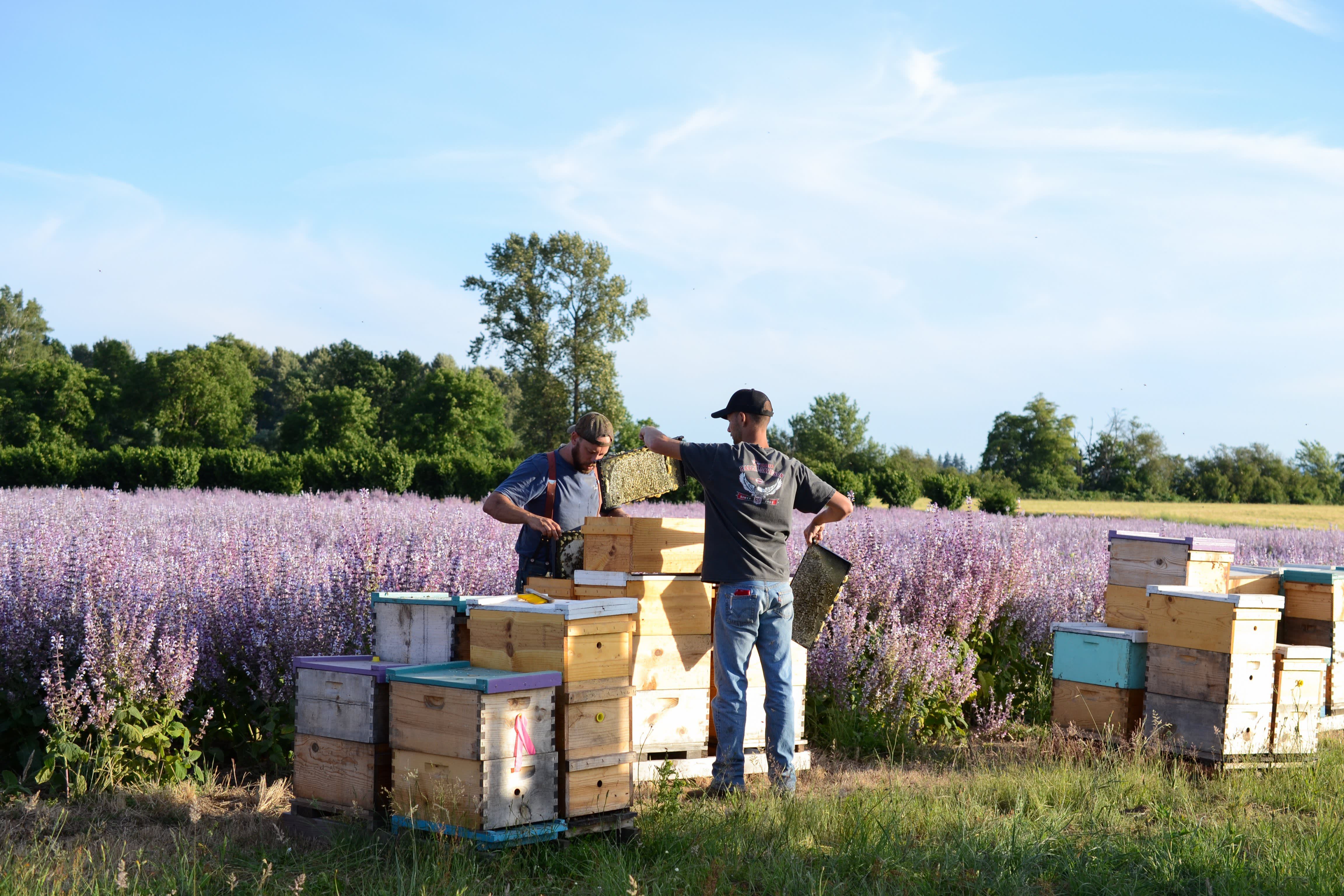 How a Migratory Beekeeper Harvests and Extracts Honey from His Fields in Oregon: gallery image 11
