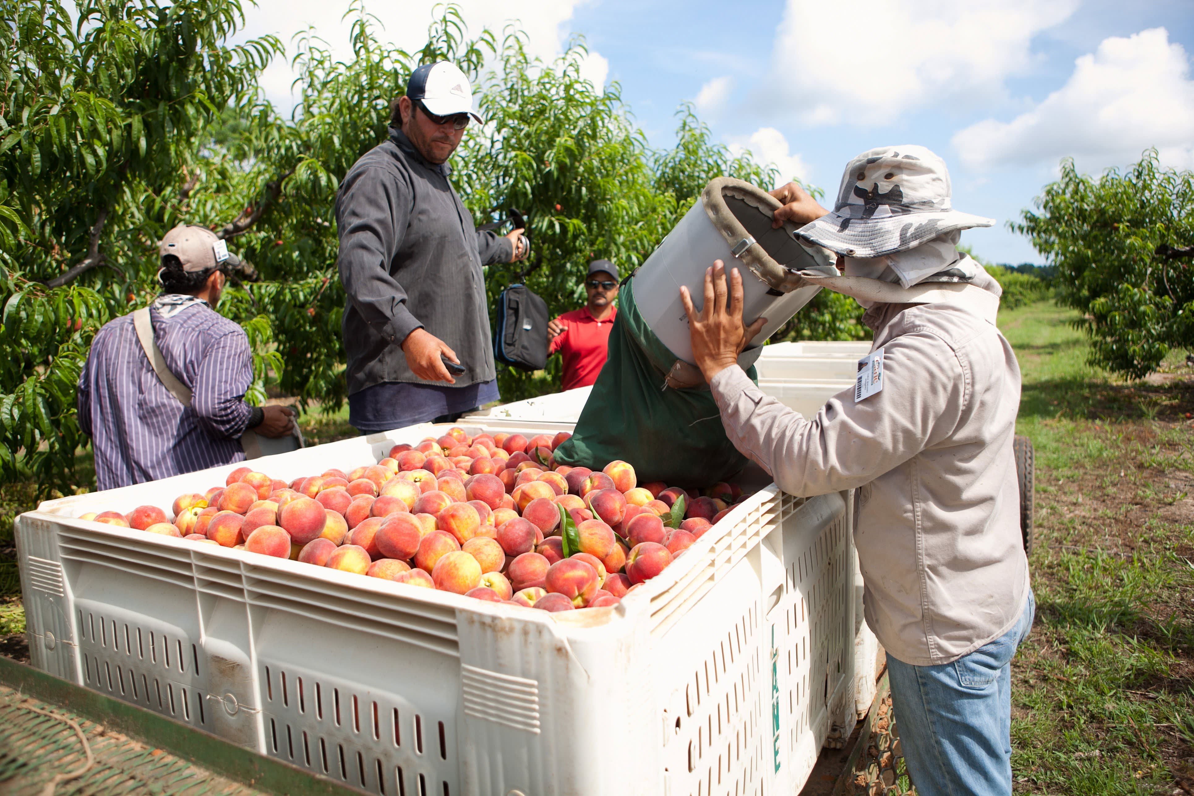How a Georgia Peach Gets Picked: gallery image 10